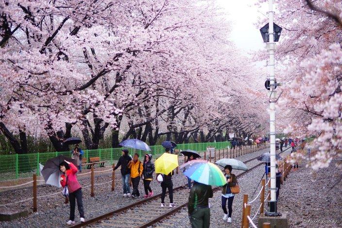 Hasil gambar untuk yeouido park cherry blossom 2017